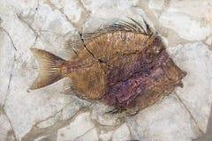 Fossil av fisken Arkivbilder