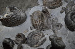 Fossil av skal Arkivfoton