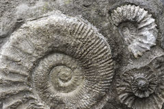 Fossil Background. Fossil Ammonite Stone Grey Background royalty free stock photos