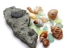 Fossil brachiopods and shells. Fossil brachiopods and shells next to present day shells on a white background Royalty Free Stock Photo