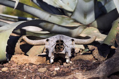 Fossil bull forgotten by all Royalty Free Stock Image