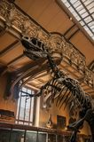 Fossil of carnivorous dinosaur at Gallery of Paleontology and Comparative Anatomy in Paris. Paris, northern France - July 10, 2017. Fossil of carnivorous royalty free stock photography