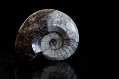 Fossil cephalopod petrified in limestone. Shell of fossilized Ammonite with helical coil. It is distantly related to modern squid Stock Images
