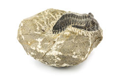 Fossil. Close up of prehistoric stone with animal on white background stock image