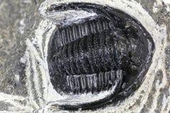Trilobite Stock Photos