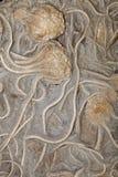 Fossil Crinoid (Uintacrinus socialis) Stock Photos