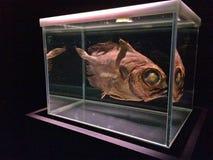 Fossil of deep ocean fish - museum display Royalty Free Stock Image