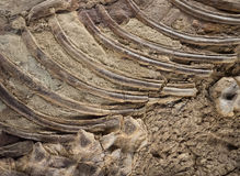 Fossil Detail Royalty Free Stock Images