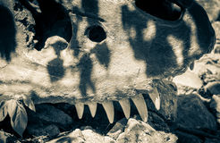 Fossil of dinosaur Royalty Free Stock Image