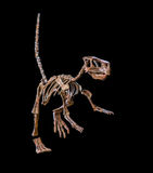 Fossil dinosaur skeleton. Fossilized dinosaur skeleton, species Psittacosaurus, a relative of Triceratops Stock Image