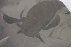 Fossil of Eurypterus. In Japan Royalty Free Stock Photography