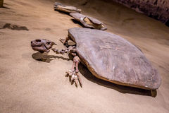 Fossil Exhibit in Royal Tyrrell Museum Royalty Free Stock Image