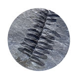 Fossil Fern Royalty Free Stock Photography
