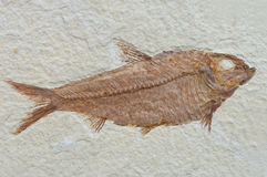 Fossil fish Stock Photography