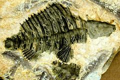 Fossil fish Royalty Free Stock Images