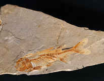 Fossil Fish. Closeup of fish fossil in rock Royalty Free Stock Photos