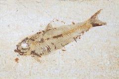 Fossil fish. Close up of prehistoric Knightia alta specimen from Stock Photos