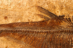 Fossil fish detail. Detail of a fossil Eocene fish on a textured sandstone background Royalty Free Stock Photo
