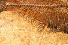 Fossil fish detail Stock Photography