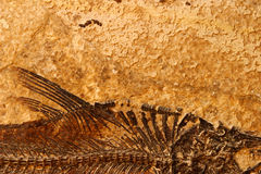 Fossil fish detail. Detail of a fossil Eocene fish on a textured sandstone background Stock Photo