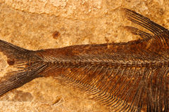 Fossil fish detail. Detail of a fossil Eocene fish on a textured sandstone background Royalty Free Stock Photography