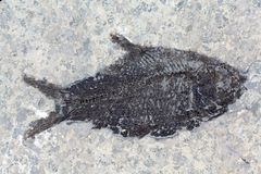 Fossil Fish Royalty Free Stock Photography
