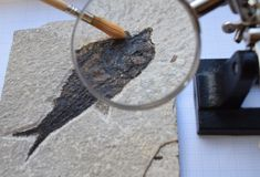 Fossil fish extraction. Knightia alta bony fish fossil from Green River Formation (Eocene epoch) in Wyoming USA being cleaned using a paintbrush and magnifying Stock Image