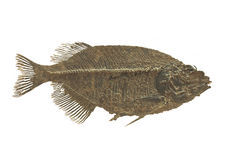 Fossil fish isolated. Extinct fossilized fish, called a phareodus testis, from the Eocene period.  Isolated on white Stock Photo