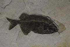 Fossil fish Royalty Free Stock Photo