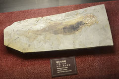 Fossil fish. From the Jiangxi Province, China. the Oligocene, about 30 - 35 million years old, original size of the animal about 20cm royalty free stock photography