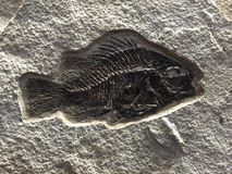 Fossil of fish Royalty Free Stock Photos