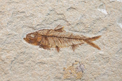 Fossil fish Stock Images