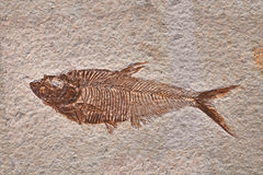 Fossil fish Royalty Free Stock Image