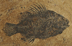 Fossil fish -Priscacara Royalty Free Stock Photos