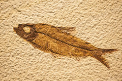 Fossil of fish similar to present Royalty Free Stock Image