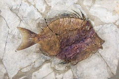 Fossil of fish Stock Images