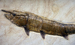 Fossil fish on the stone slab Stock Image