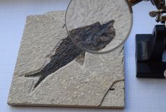 Fossil fish under magnification Royalty Free Stock Image