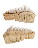 Fossil fossilized shark teeth. Isolated Royalty Free Stock Photo