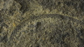Fossil of Graptolite. This is a fossil of a Graptolite / Graptolithin that first appeared in the Cambrian Period stock footage
