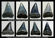 Fossil great white shark teeth Royalty Free Stock Photography