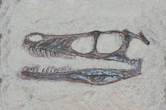 Fossil head of a velociraptor dinosaur with sharp theeth Royalty Free Stock Photos