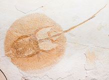 Fossil of horseshoe crab maybe Stock Images