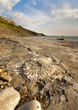 Fossil hunting on the Dorset coastline. Ammonite found whilst fossil hunting on the Dorset coastline royalty free stock photos