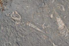 Fossil i den Musandam halvön, Oman Fotografering för Bildbyråer