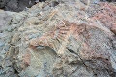 Fossil im Stein Paläontologisches Impressum einer Beschaffenheit auf einem Stein Lizenzfreies Stockbild