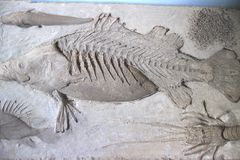 Fossil. The image of the big fish fossil on the rock Royalty Free Stock Photo