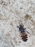 Fossil insect Stock Image