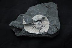 Pleuroceras sp. Stock Photo