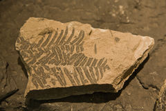 Fossil of leaf stock images